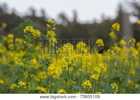 Canola Fields In Summer