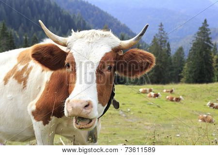 Funny Looking Cow