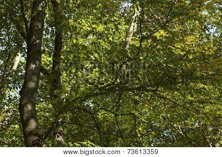 Broadleaf Forest - Light-flooded Leaves Of Trees