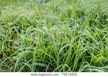Long Grass With Silver Dew Droplets
