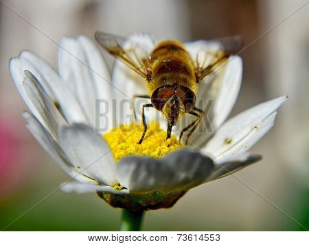 Bee On Chamomile