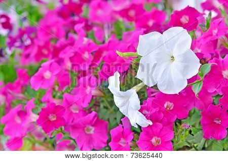 Pink And White Petunia Flowers