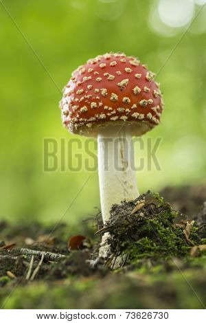Colourful red/white Fly Agaric mushroom in forest in the autumn in the Netherlands