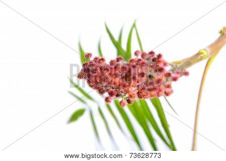 Rhus typhina flower with leaves
