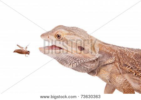 Central Bearded Dragon chasing a cricket on white
