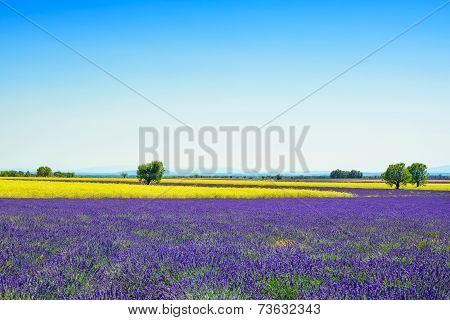 Lavender, Yellow Flowers Blooming Field And Trees. Provence, France