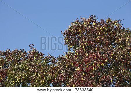 Pear Tree - Tree Crown Of A Pear Tree