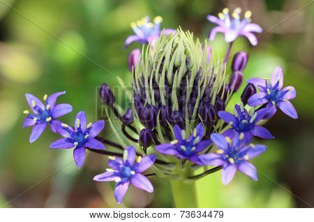 Purple Agapanthus Flowers