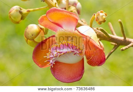 Beautiful Close-up Of Cannonball Tree Flowers (couroupita Guianensis).