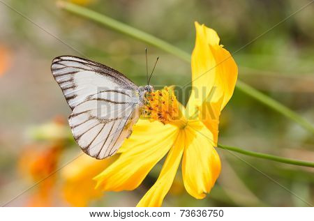 White Butterfly With Yellow Cosmos.