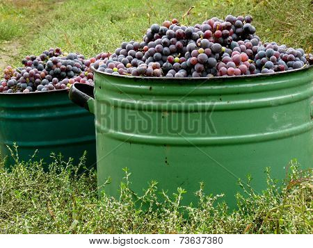 large pots full of fresh harvested grapes