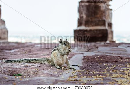 An Indian Palm Squirrel Having Food