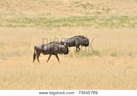 Two Blue Wildebeest Walking