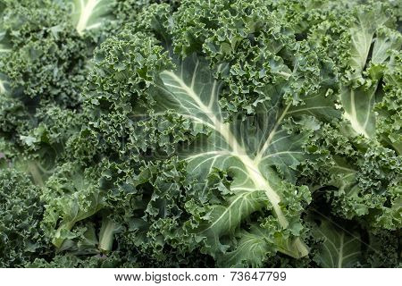 Close up of  healthy fresh curly kale