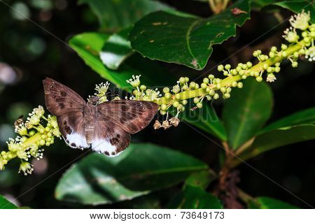 The Spotted Snow Flat Butterfly