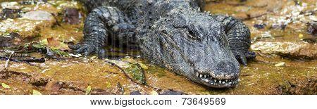 chinese alligator