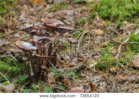 Large Toadstool Family
