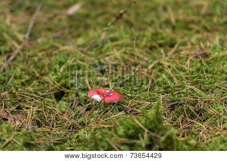 Red Edible Mushrooms