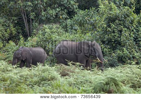 forest elephants in rain forest of Mt Kenya