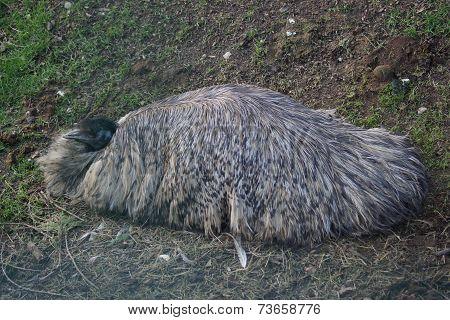 Emu - Dromaius noveahollandiae