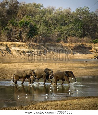 Elephant herd crossing river