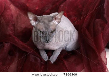 Egyptian Donskoy Bald Sphinx Cat On The Chair