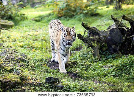 Amur tiger on a walk