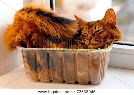 Somali Cat Inside Box