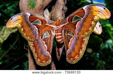 Atlas buttefly