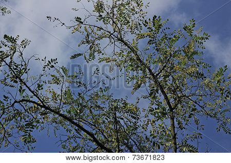 Branches And Leaves Of Acacia