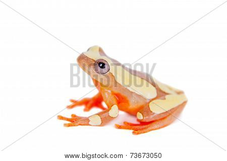 Shreve's Sarayacu treefrog isolated on white