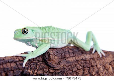 Waxy Monkey Leaf Frog on white background