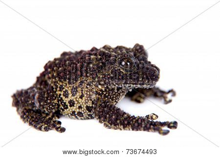 Vietnamese Mossy Frog isolated on white