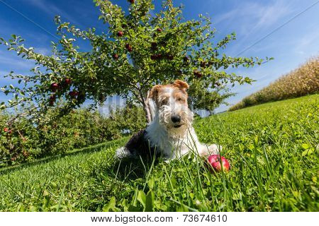 Wire fox terrier in an apple orchard.