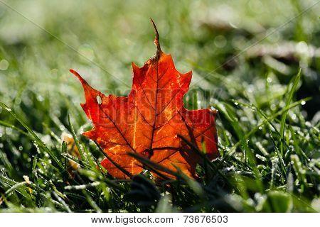 Maple Leaf on Dewy Grass
