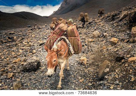 Donkey caravan in Nepal - Annapurna trekking