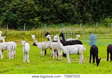 Llamas On Farm In Norway