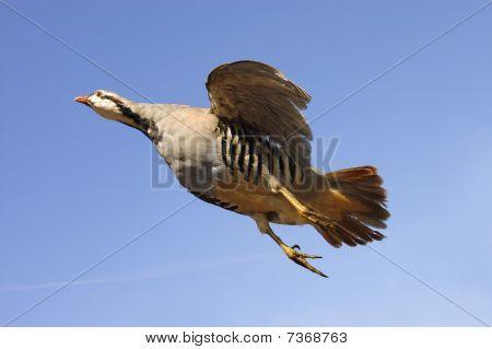 Chukar en vuelo