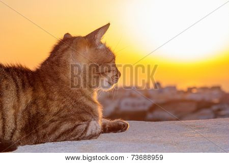Cat watching the sunset in  Oia in Santorini Greece