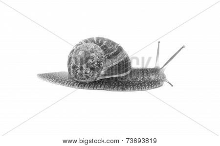 Profile Of Garden Snail With Boldly Striped Shell