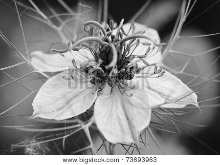 Nigella (love In A Mist) Flower