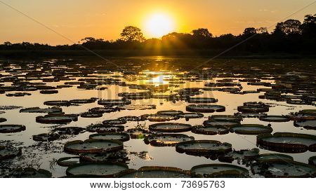 Sunset in pantanal wetlands with pond, ipe trees and victoria regia