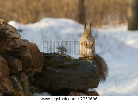 Squirrel Sitting On The Stone