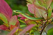 image of harmless snakes  - A Rough Green Snake crawling through a bush - JPG