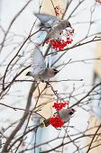 image of mountain-ash  - Waxwings on the snow - JPG