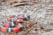 image of harmless snakes  - A Scarlet Kingsnake coiled on the ground - JPG