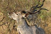 picture of greater  - The greater kudu is a woodland antelope found throughout eastern and southern Africa - JPG