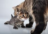 image of puss  - Adorable little newborn kitten with mother taking care of it. Studio shot. ** Note: Soft Focus at 100%, best at smaller sizes - JPG