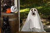 picture of funny ghost  - A dog dresses as a Ghost Trick or Treating - JPG