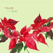 stock photo of poinsettias  - Background  with red poinsettia - JPG